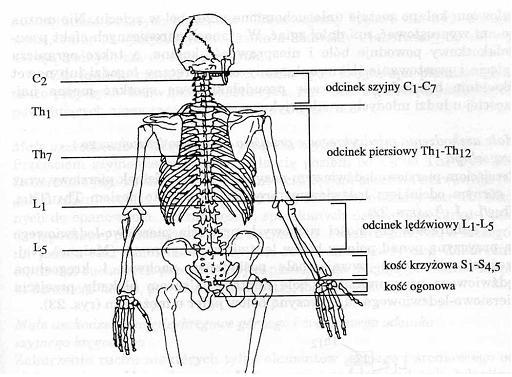 kręgosłup