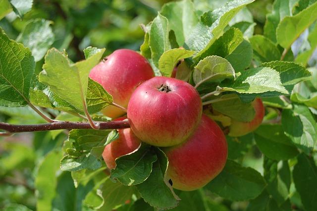 apples-108286_640