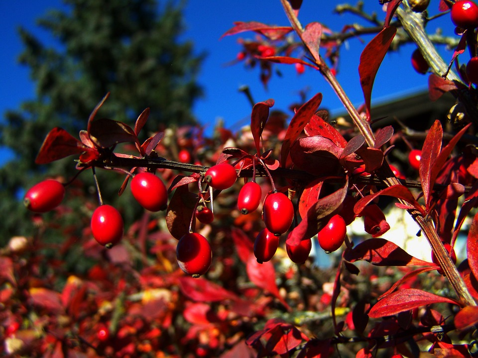 red-berries-1035633_960_720