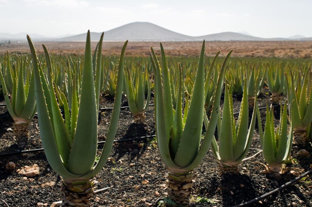 Aloe_vera_plantation